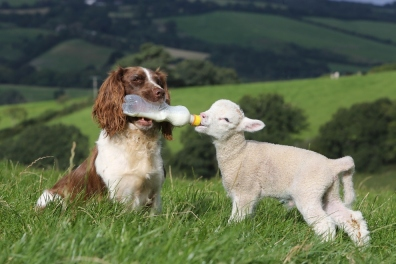 dog-bottle-feeding-baby-lamb-004.jpg